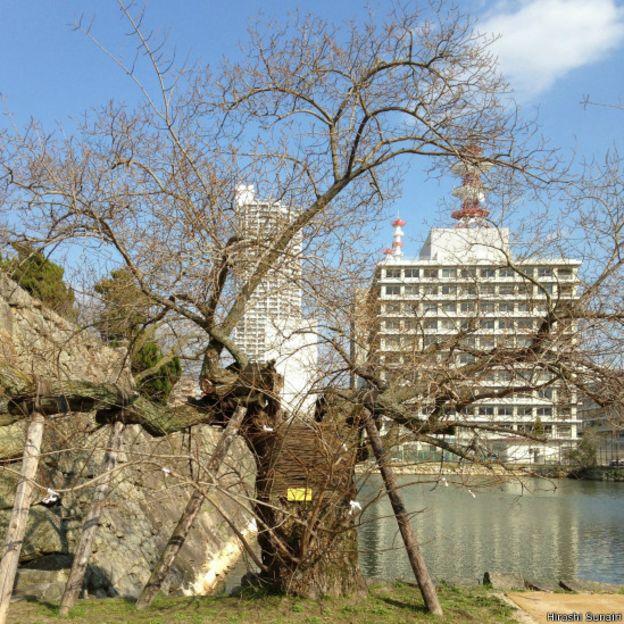La conservación de los Hibakujumoku es una tarea prioritaria para los locales. (Foto: Hiroshi Sunain)