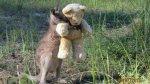 Foto de canguro abrazando a peluche conmueve a miles - Noticias de oso gris