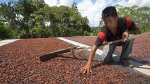 El cultivo de cacao estaría afectando la Amazonía - Noticias de producción de leche en perú