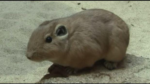 Imagen del roedor gundis, descendiente de la nueva especie hallada por los científicos. (Foto: Captura de video)