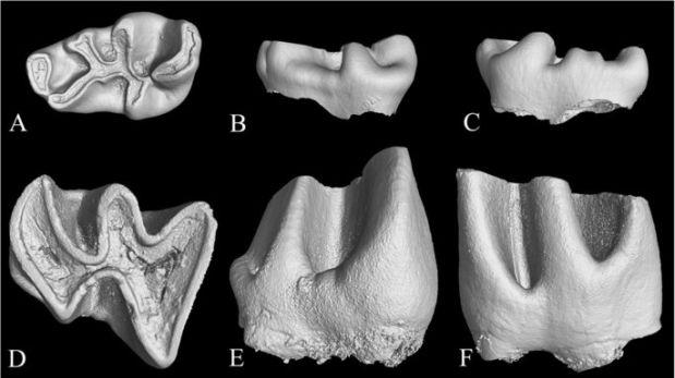 Muestras digitales del fósil del Proafricanomys libanensis hallado en el Medio Oriente. (Foto: Scientific Reports)