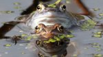 Un parásito amenaza a las ranas y a los renacuajos del mundo - Noticias de michael richards