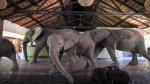 Elefantes atraviesan hotel para llegar a árbol de mangos - Noticias de escasez de agua