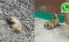 WhatsApp: tablista rescató a lobo de mar varado en Costa Verde