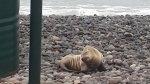 WhatsApp: tablista rescató a lobo de mar varado en Costa Verde - Noticias de carlos yaipen