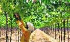 El norte logra superar a Ica en cultivos de uva de exportación