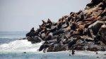 Las maravillas que esconden las islas del Callao - Noticias de lobos marinos