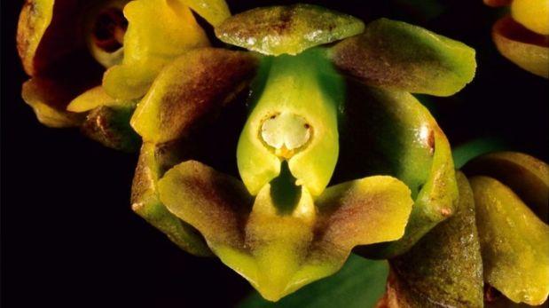 Se trata de las especies Epidendrum Ochoae, Epidendrum Incahuamanii, y Epidendrum Mormontoy. (Foto: Difusión)