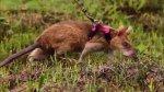 Adiestran a ratas gigantes para localizar minas antipersona - Noticias de esto es guerra