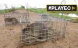La carne de rata, un gran manjar al alza en Camboya [VIDEO]
