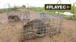 La carne de rata, un gran manjar al alza en Camboya [VIDEO] - Noticias de atrevidos