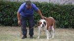 Murió perra San Bernardo que fue usada como 'burrier' por mafia - Noticias de diario trome