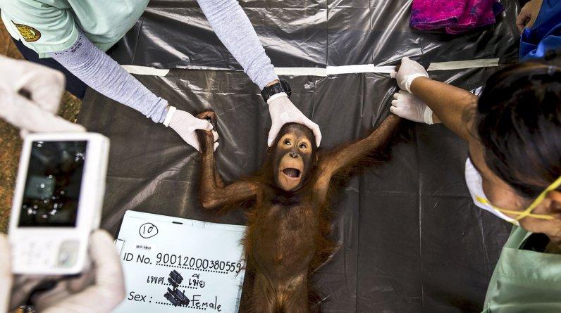 Los veterinarios del Parque Nacional de Vida Silvestre y Conservación de Plantas realizaron un chequeo a 14 orangutanes antes de su envío a Tailandia. (Foto: REUTERS/Athit)