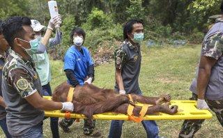 Orangutanes pasan examen médico antes de retornar a Tailandia