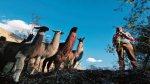 Las llamas ecológicas que surcan el Urubamba - Noticias de especies endémicas