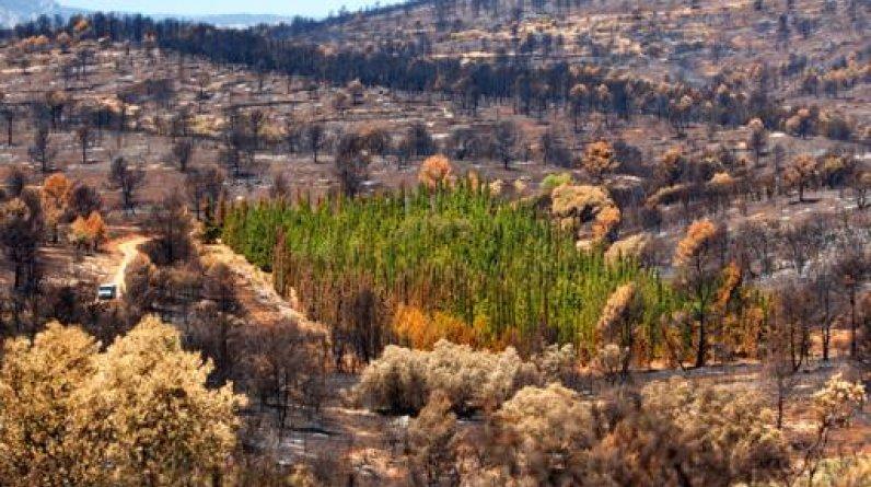 De los más de 940 cipreses mediterráneos de la plantación del proyecto CypFire en Andilla, Valencia, sólo el 1,27% entró en ignición en el incendio de 2012. Todas las otras especies se calcinaron.