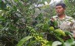 Café: producción histórica local se recuperará a partir de 2017