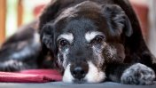 Cuidados para proteger a tu perro durante su vejez