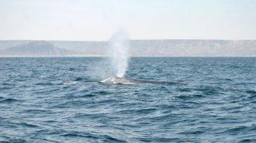 Una ballena azul y su cría fueron avistadas en mar de Piura
