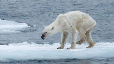 Foto de osa polar desnutrida crea alarma sobre el clima