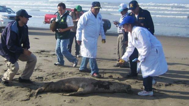 Más de 45 lobos marinos vararon en playas de Lambayeque