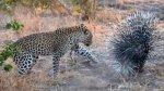 Leopardo aprende lección tras intentar cazar un puercoespín - Noticias de parque nacional kruger