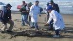 Más de 45 lobos marinos vararon en playas de Lambayeque - Noticias de lambayeque