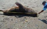 Hallan más animales marinos varados en playas de Lambayeque