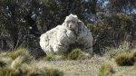 La increíble oveja que acumuló 42,3 kilos de lana - Noticias de prevención de la crueldad contra los animales