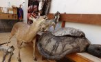 Catacaos: decomisan en mercado más de 30 animales disecados