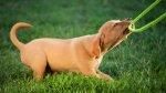 Juega con tu perro y enséñale quién manda - Noticias de ronald custodio