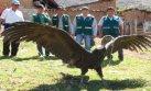 Cóndor que iba a ser usado en Yawar Fiesta fue liberado