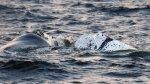 Uruguay: avistamiento de ballenas, el nuevo atractivo turístico - Noticias de franco maldonado
