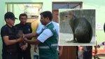 Nuevo Chimbote: este roedor causó alarma entre vecinos - Noticias de nuevo chimbote
