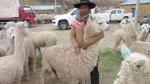 Puno: reponen alpacas a criadores afectados por heladas - Noticias de puno