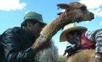 Huancavelica: sarna en vicuñas generó pérdidas por S/. 80.000