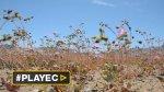 Chile: desierto florido en Atacama, la otra cara del desastre - Noticias de fenómeno climático la niña