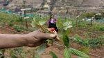Quechuahablantes salen de la pobreza con cultivo de frambuesa - Noticias de lambayeque