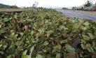 Cusco: cocaleros acatan paro indefinido para aumento de precios