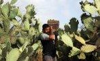 El 30% de las especies de cactus están en peligro de extinción