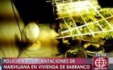 Barranco: descubren cultivos de marihuana dentro de vivienda