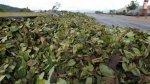 Cusco: cocaleros acatan paro indefinido para aumento de precios - Noticias de paucartambo