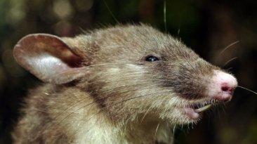 """Descubren la """"rata con nariz de cerdo"""" [VIDEO]"""