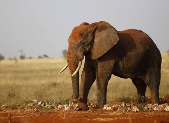 ¿Por qué existen pocos casos de cáncer en elefantes?