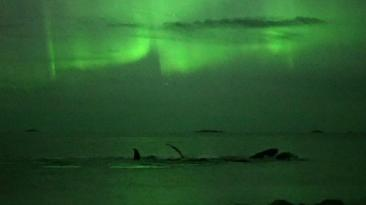 """Así """"danzan"""" las ballenas durante la aurora boreal [VIDEO]"""