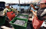 Sugieren restringir extracción de anchoveta por El Niño