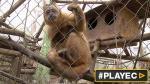 Así rehabilitan a monos alcohólicos en Chile [VIDEO] - Noticias de juegos naturales