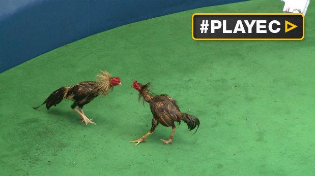 gallos en el peru: