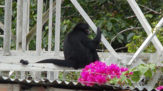 Tarapoto: mono araña causa zozobra en el centro de la ciudad