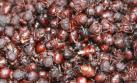San Martín: aumenta venta de hormigas comestibles en mercados